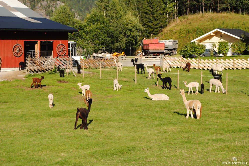 Ферма для выращиваня альпаков