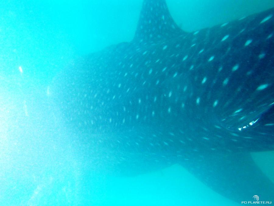 Это настоящая китовая акула