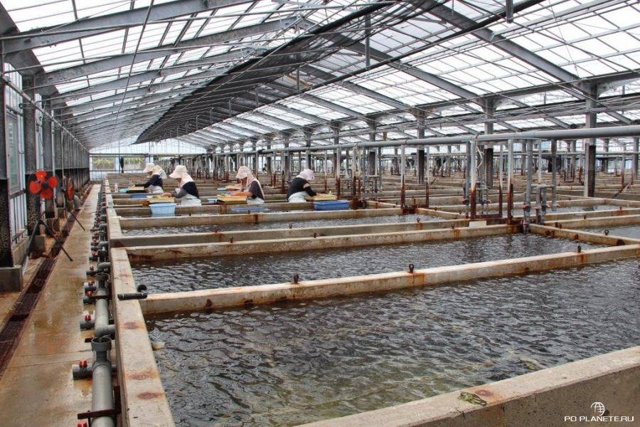 Ферма по выращиванию морского винограда Уми-будо