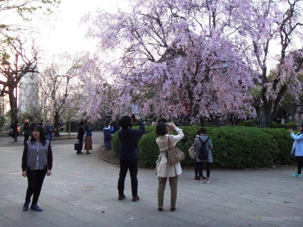 Ханами в Токио